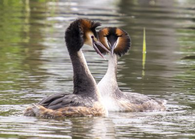 great-crested-grebe-2394839_1920